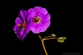 Closeup of lilac Pata de guanaco flower (Cistanthe longiscapa), common flower of the Atacama desert when blooming