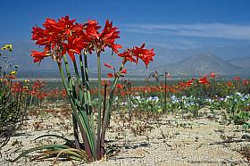 Field of red Ananuca lilies (Rhodophiala phycelloides) in the Atacama desert near Huasco. Desierto florido Chile