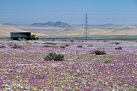 Truck on the Panamericana Highway driving through blooming Atacama desert near Vallenar, Chile