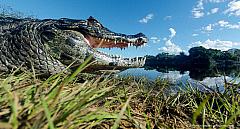 Close view of a black caiman with open jaws at Rio Negro, Pantanal - Brasil