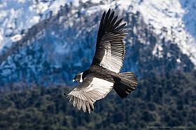 Andean Condor (Vultur gryphus) in flight over Conguillio National Park