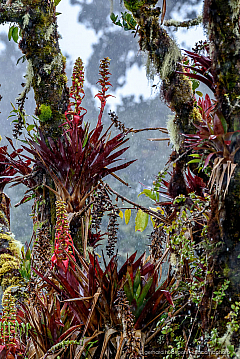 Tree branches covered with colorful bromeliads. Los Quetzales National Park Costa Rica.