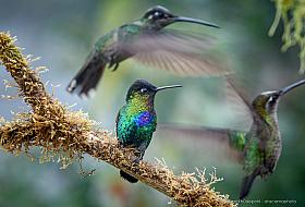 Heavy air traffic: three fiery-throated hummingbirds in flight, Costa Rica