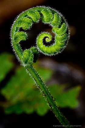 Fragile fern leaf unfurling, Cuyabeno Reserve, Ecuador