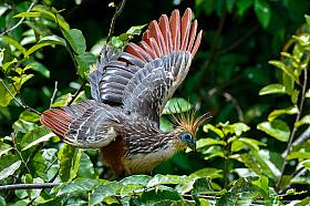 The Hoatzin  (Opisthocomus hoazin), a prehistoric leaf eating bird of the Amazon jungle