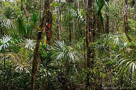 Dense tropical rain forest with palm leaves, Cuyabeno reserve Ecuador