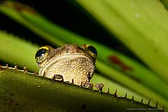Tree frog (Osteocephalus taurinus) on a bromeliad leaf, Cuyabeno Reserve Ecuador
