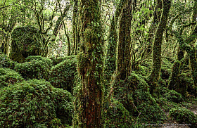 Enchanted forest. Patagonian temperate rainforest at its best in Queulat National Park, Chile