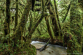 A small creek flowing through the enchanted forest at Queulat National Park in Patagonia, Chile