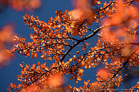 Red autumn leaves of a lenga tree (Nothofagus pumilio) against the deep blue sky, Patagonia