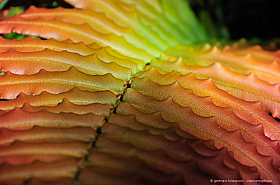 Colorful leaves of Chilean hard fern (Blechnum chilense), a common plant of Patagonia