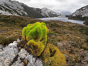 Moss dominates the vegetation of rainy Isla Madre de Dios, Patagonia Chile