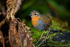 Chucao (Scelorchilus rubecula), a curious small bird of the Valdivian rainforest