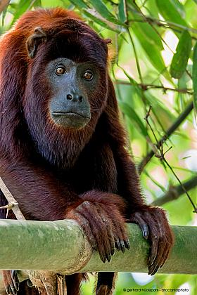 Red howler monkey portrait (Alouatta puruensis), Tambopata reserve Peru
