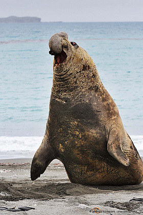 Furious male elephant seal attacking opponent, South Georgia Island