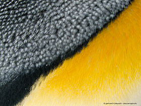 Detail of yellow and gray king penguin feathers