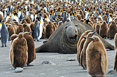 Elephant Seal bull in between a King Penguin colony, South Georgia Island