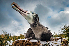 Wandering Albatross chick (Diomedea exulans) on its nest, South Georgia Island