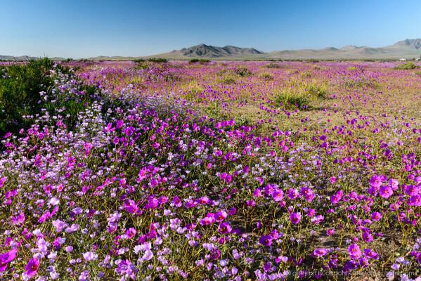 Colorful dense carpet of lilac and blue flowers, Atacama desierto florido 2017