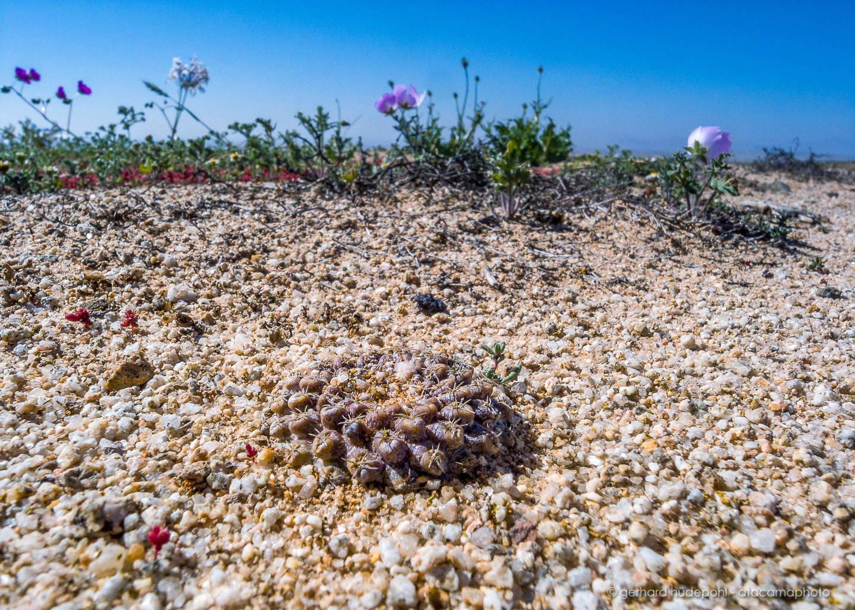 atacama desert cactus photos different species of chilean cacti