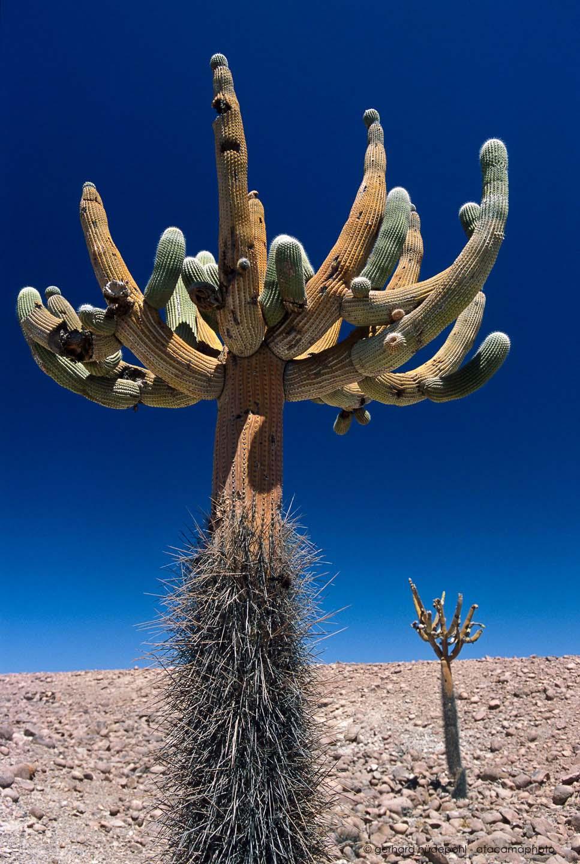 atacama desert cactus photos different species of chilean cacti. Black Bedroom Furniture Sets. Home Design Ideas