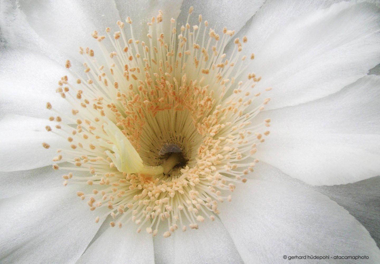 Close Up Of White Cactus Flower Echinopsis Deserticola Atacama Desert