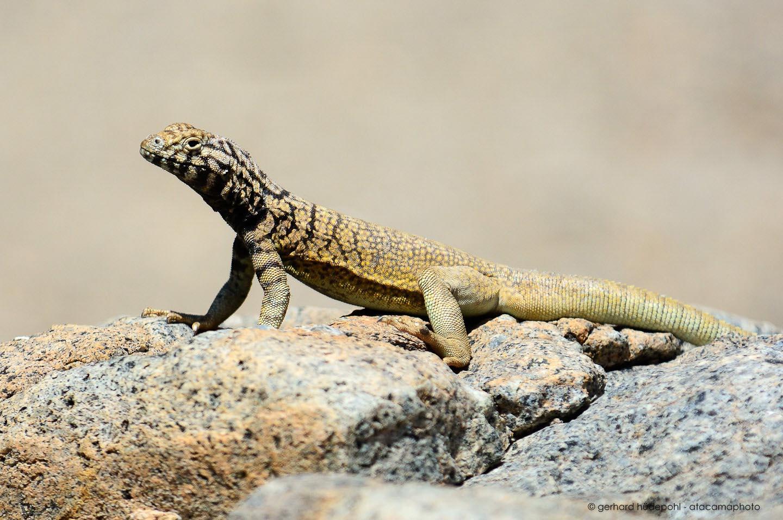 atacama desert animals photos birds lizards insects and mammals