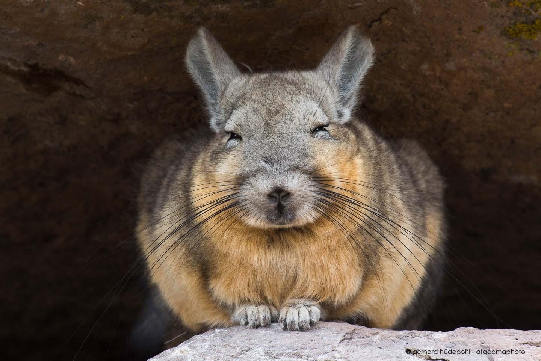 Atacama Wildlife