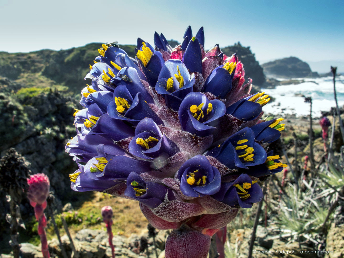 Amazing blue flowers of the rare chagual chico a bromeliad of the amazing blue flowers of the rare chagual chico a bromeliad of the coastal zone of chile izmirmasajfo